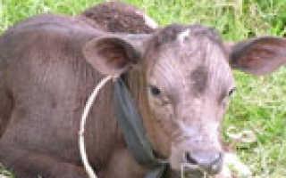 Пастереллез коров и телят: течение, клинические признаки, патологоанатомические изменения, Ветеринарная служба Владимирской области
