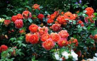 Бенджамин Бриттен (роза): описание, отзывы