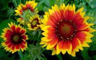 Гайлардия: выращивание, посадка, уход и размножение солнечной ромашки