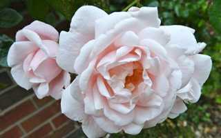Роза Нью Даун (New Dawn): фото, отзывы, описание, характеристики