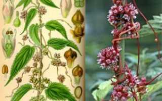 Повилика европейская: описание, фото, лечебные свойства, борьба с сорняком