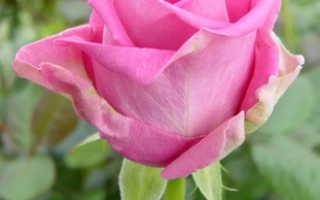 Роза аква фото и описание, посадка, уход и выращивание в открытом грунте