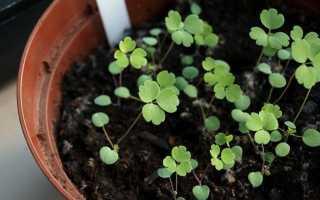 Как вырастить аквилегию из семян? Когда сажать, стратификация, посадка