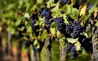 Все о пользе черного винограда и особенностях его употребления