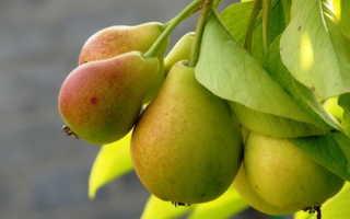 Сорта груш: фото, названия и описание сортов груш с характеристиками