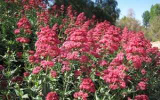 Кентрантус «Малиновый звон»: выращивание из семян