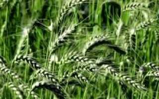 Удобряем озимую пшеницу правильно
