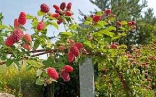 Малиновое дерево: секреты успешного выращивания