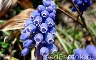 Мускари — популярные сорта и особенности выращивания