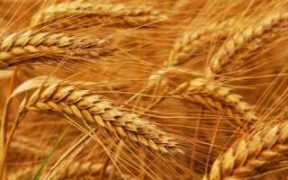 Можно ли давать кроликам пшеницу?