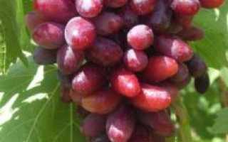 Виноград изюминка описание сорта с фото, уход и выращивание