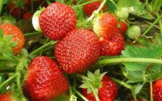 Клубника Полка: описание любимого сорта многими садоводами, видео отзыв о выращивании с фото
