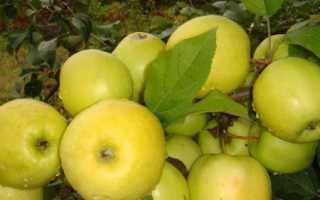 Яблоня Чудное: описание сорта, фото, особенности выращивания