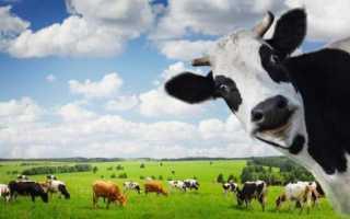 А вам интересно знать, сколько весит корова? Максимальный вес коровы и быка