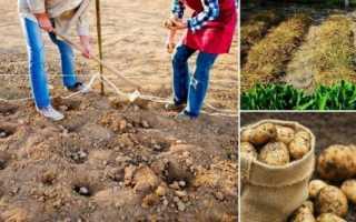 Посадка картофеля под зиму, преимущества и риски этого метода выращивания