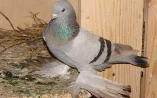 Применение вакцины виросальм для голубей