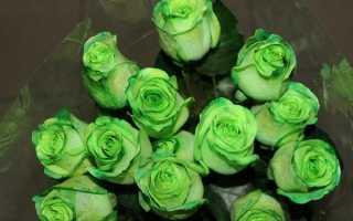 Зеленая роза — фото, цены, описание, советы по выращиванию