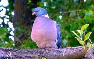 Лесной голубь вяхирь: описание дикого жителя, среда его обитания