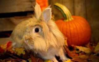 Львиноголовый кролик: описание, содержание и уход в домашних условиях