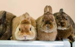 Породы декоративных кроликов: фото, названия и описание, «Твой Кролик»