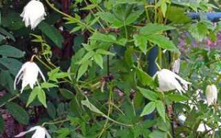 Разновидности растений княжиков, посадка и уход в открытым грунте