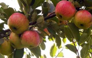 Яблоня медуница: описание, посадка, отзывы фото