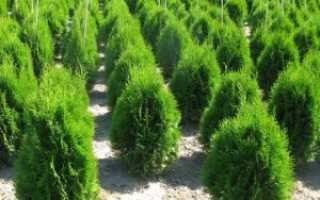 Черенкование туи осенью, хитрости размножения вечнозеленого кустарника