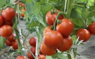 Как давать помидоры кроликам