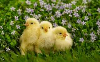 Выясняем, когда цыплят можно выпускать на улицу и можно ли им давать крапиву