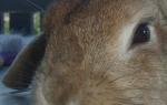 Из-за чего у кролика могут упасть уши, Фермер