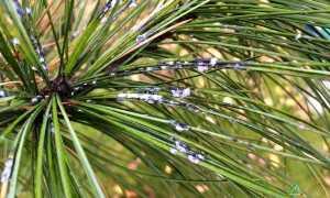 Хермес — вредитель хвойных деревьев
