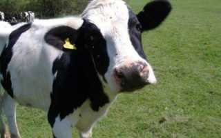 Оспа у коров: лечение и симптомы